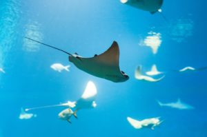 5 Awesome Facts About Manta Rays